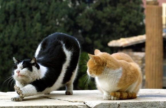 gatto-bianconero-gatto-biancorosso