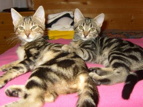 due-gatti-tigrati