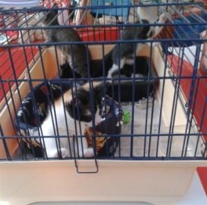 gattini-in-gabbia