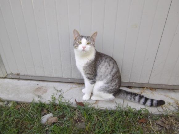 gatto-bianco-e-grigio-tigrato